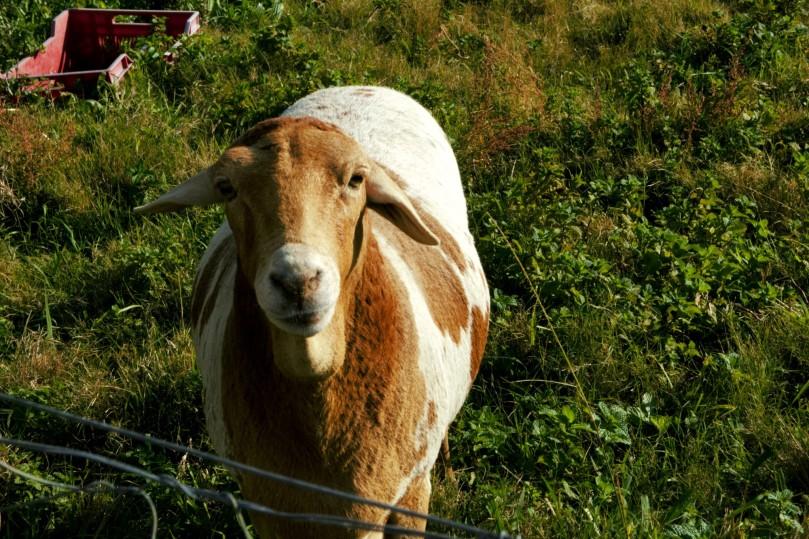 Old sheep