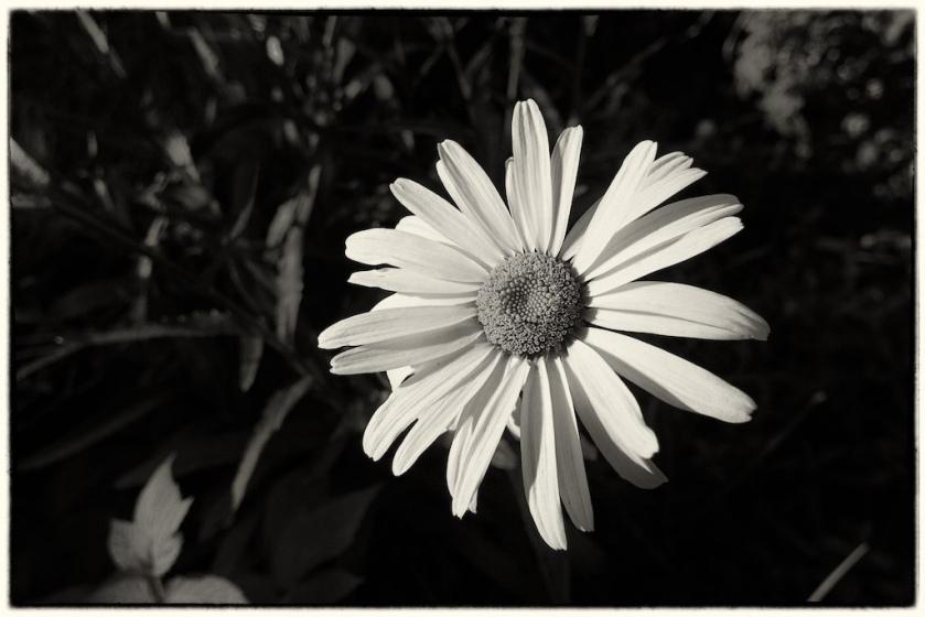 Solitary daisy